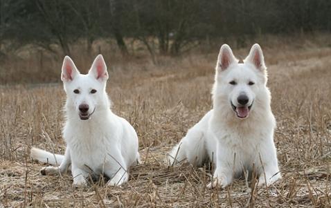 Vit herdehund - Asta och Robin