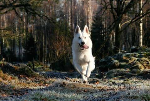 Robin, vit herdehund